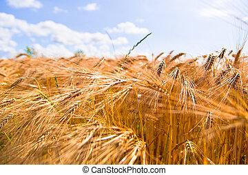 golden wheat crops