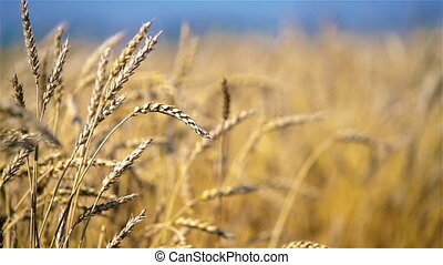 Close up of golden wheat ears over blue sky at sunny day. - ...