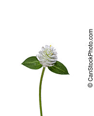 Close up of Gomphrena weed flower on white background.