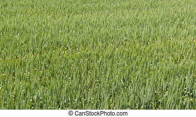 Close up of grain farm field, countryside