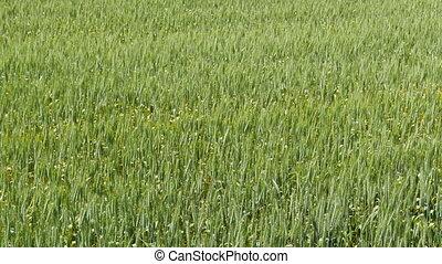 Close up of grain farm field, countryside