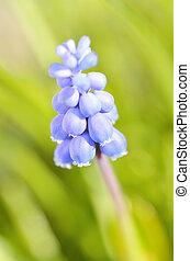 Close-up of grape hyacinth - muscari macro of blue spring flowers