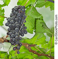 Close up of grapes on the vine - Bunches of ripe grapes...