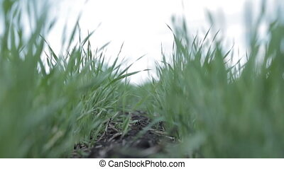close-up of grass. green grass grows from the earth.