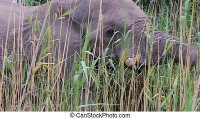 grazing African Elephant in Etosha - close up of grazing...