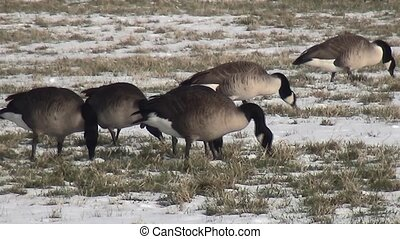 Close Up of grazing geese in the snow. (Branta canadensis)