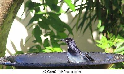 close-up of Greater Antillean Grackle  splashing in bird bath