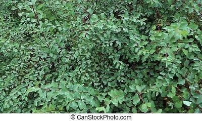 green bush in dew