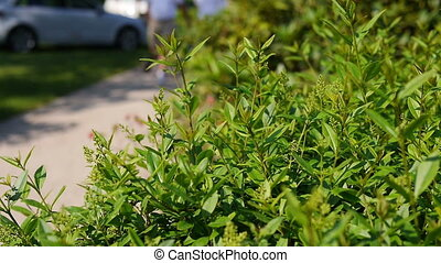 Close up of green bushes and people walking by