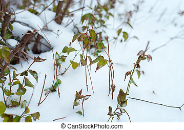 Close-up of green bushes. The first snow fell on the leaves in winter.