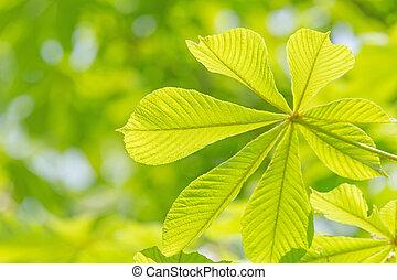green chestnut tree leaf at spring