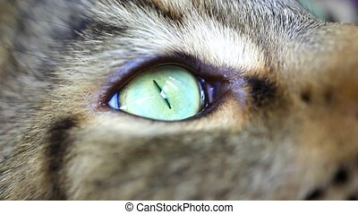Close up of green eye Of Maine Coon black tabby cat. Macro