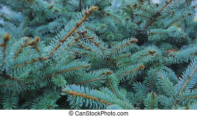 close-up of green fir branches, full frame.