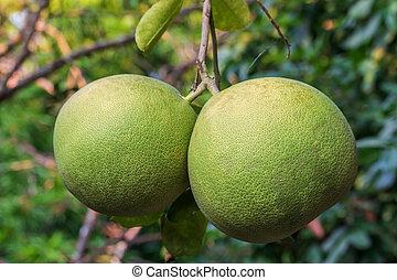 Close up of green grapefruit on tree