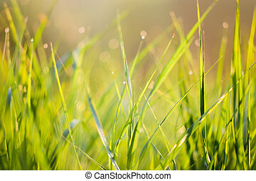 Close up of green grass in morning dew drops with bokeh texture background
