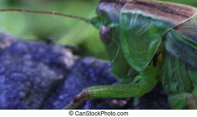 Close up of Green Grasshopper - Closeup Grasshopper,...