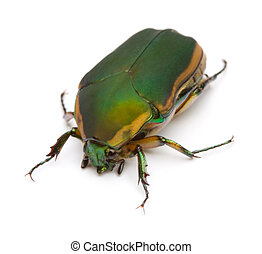 Green June Beetle - Close-up of Green June Beetle Cotinis...