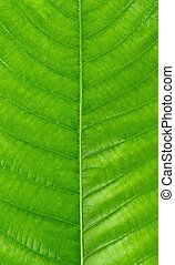 close up of green leaf isolated on white background