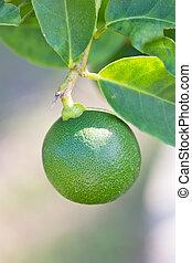 Close up of green lemon.