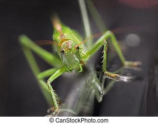 green locust - Close up of green locust on blurred...