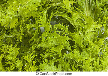 Close up of Green Mustard Plant Leaves