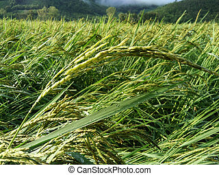 Close up of green paddy rice. Green ear of rice in paddy rice field , Blur Paddy rice field in the morning background