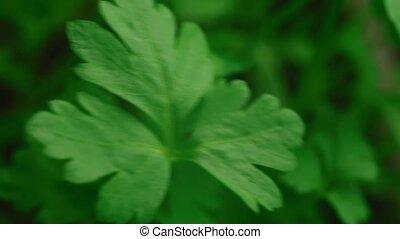 Close-up of green parsley