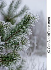 close-up of green pine needles in winter
