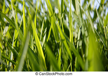 Close-up of green reed