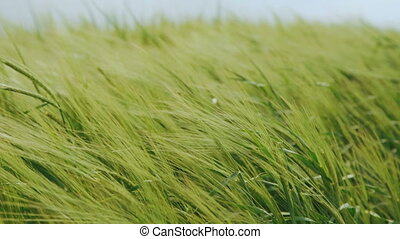 Close up of green wheat's ears waving on the fields in 4K