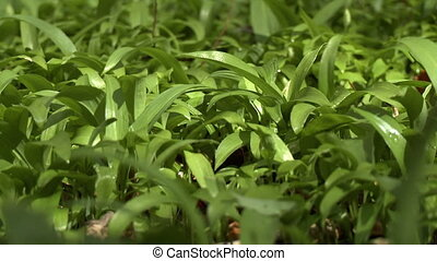 Close up of greenery in the woods - Close up of rich...