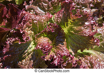 Close up of growing red salad leaves in summers day.