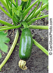 close-up of growing zucchini in the vegetable garden