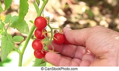 cherry tomatoes - close-up of hand picking cherry tomatoes