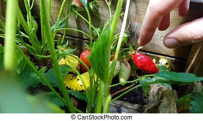 Close-up of Hand Picking Ripe Strawberry