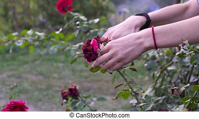 Close up of hands pruning red roses with shears. Slow motion...