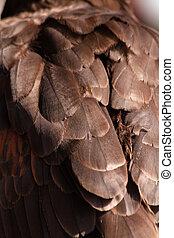 Harris Hawk - Close up of Harris Hawk feathers on back