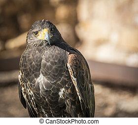 Close up of Harris Hawk or Parabuteo Unicintus - Close up ...