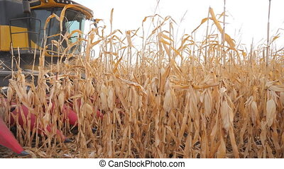 Close up of harvester gathering corn crop in farmland. Combine working on farm during harvesting at autumn season. Beautiful view on yellow maize field. Agronomy or agricultural concept. Slow mo.