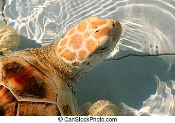 hawksbill sea turtle in aquarium - close up of hawksbill sea...