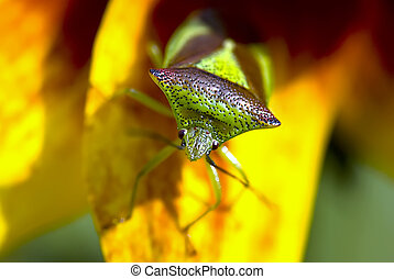 Shield Bug on Yellow Flower - Close up of Hawthorn Shield ...