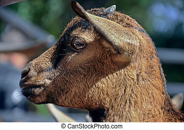 Close up of Head baby goat, Brown goat