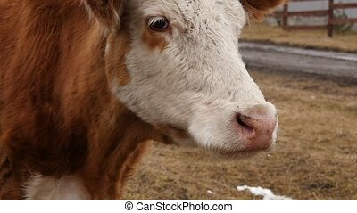Close-up of head of a cow chews grass. cattle on a farm....