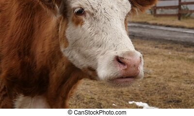 Close-up of head of a cow chews grass. cattle on a farm. slow motion