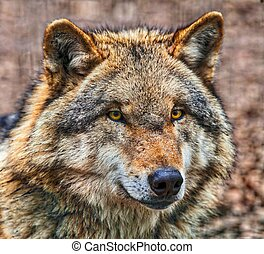 Close up of head of Dangerous Grey Wolf - Close up Head of...