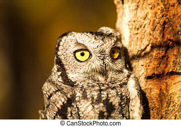 Western Screech Owl - Close up of head of Western Screech...