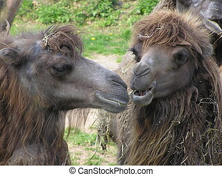two camels - Close-up of heads of two camels gossiping in a...