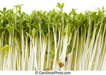 Close-up of healthy garden cress