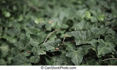detail of Hedera helix growing in a garden during summer season