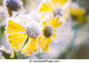 Close-up of helenium flowers covered with frost